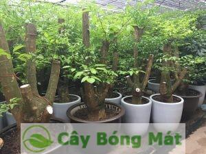cay-hanh-phuc-1-300x225 Cây Hạnh Phúc