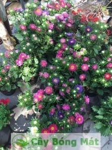 hoa-da-yen-thao-1-225x300 Hoa dạ yến thảo