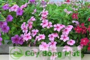 hoa-dua-can-1-300x231 Hoa Dừa Cạn